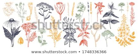 Erva daninha folha praça formato imagem maduro Foto stock © AlphaBaby