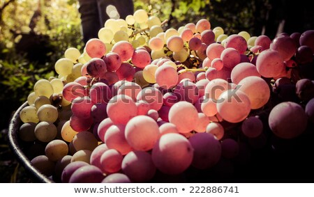Grape harvest. White wine grapes in buckets after the harvest at stock photo © Yatsenko