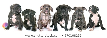 Stockfoto: Zes · groep · amerikaanse · hond · honden
