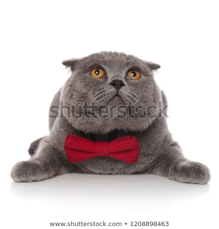 scared scotish fold with red bowtie looks up while lying Stock photo © feedough