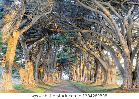 Sunrise over Cypress Tree Tunnel Stock photo © yhelfman