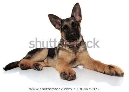 прелестный · сидящий · волка · собака · вверх - Сток-фото © feedough