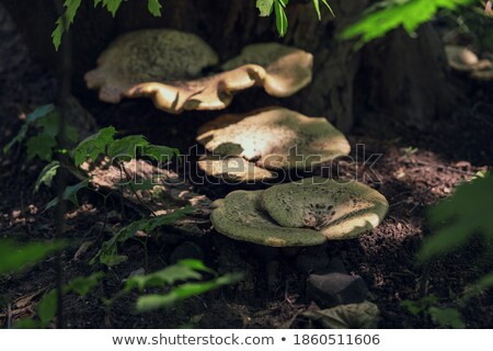 an inedible mushroom grows from log Stock photo © romvo