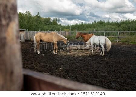 馬 · ファーム · シーン · 自然 · フィールド · 白 - ストックフォト © pressmaster