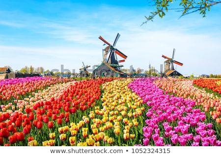 campo · vermelho · amarelo · roxo · tulipas · holandês - foto stock © borisb17