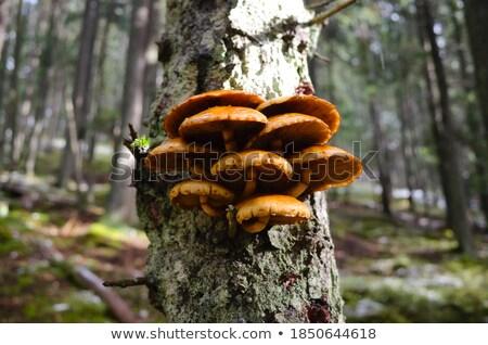 食用 キノコ 苔 松 樹皮 木材 ストックフォト © dolgachov