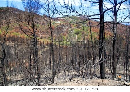 Tűz 2011 fekete tavasz fenyőfa fák Stock fotó © lunamarina