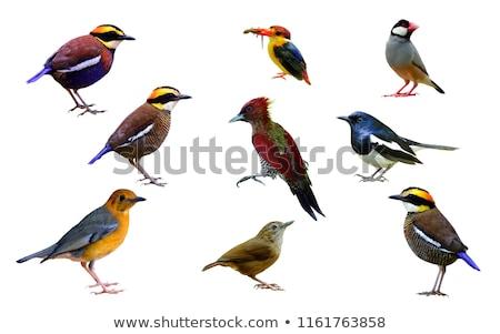 Grey Headed Kingfisher Stock photo © teusrenes