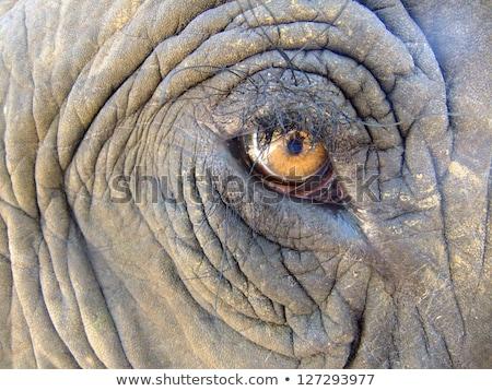 Fil göz doku yüz Stok fotoğraf © teusrenes