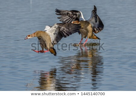 Nile Goose in Flight Stock photo © teusrenes