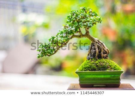 Eski bonsai ağaç kırmızı doğa yaprak Stok fotoğraf © Antonio-S