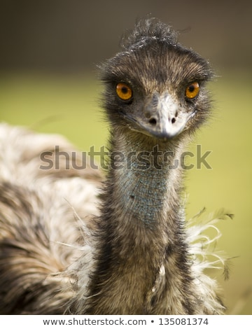 emu head and neck stock photo © bobkeenan