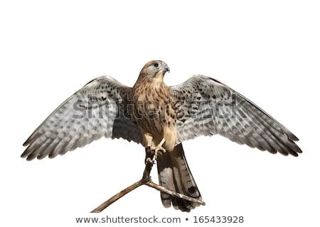 beautiful spotted falcon bird stock photo © arenacreative