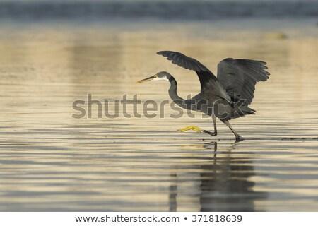 Western Reef Heron (Egretta gularis) Stock photo © lightpoet