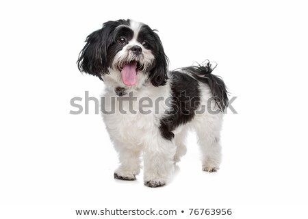 Mixed breed boomer dog Stock photo © eriklam