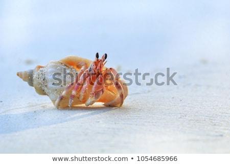 caranguejo · ocultação · praia · concha · praia · tropical - foto stock © Kacpura