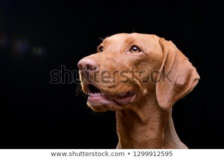 犬 肖像 クローズアップ ショット ハンガリー語 青 ストックフォト © brianguest