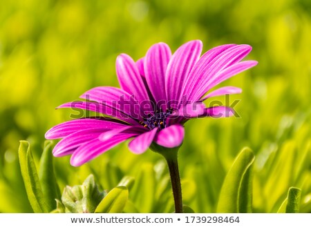 Five purple daisy closeup with green leaves background stock photo © seiksoon