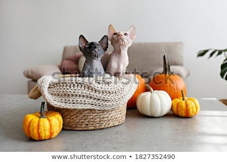 iki · kel · kediler · mısır · beyaz · göz - stok fotoğraf © taden