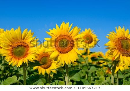 ripe sunflower and sunflowers field stock photo © mikko