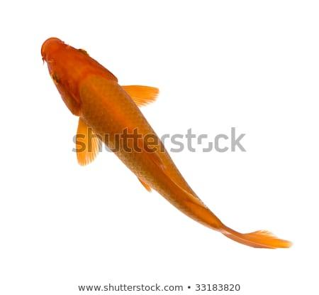 ニシキゴイ 魚 水 表示 鯉 ストックフォト © Kirill_M