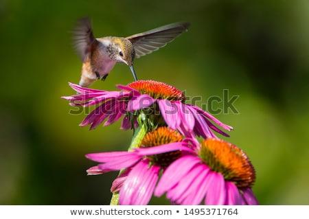 ハチドリ 赤 花 ストックフォト © devon