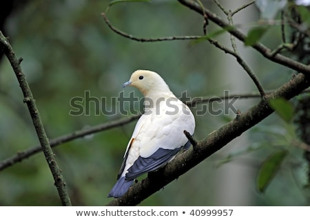 Sulawesi Green Imperial-pigeon of Indonesia stock photo © feverpitch