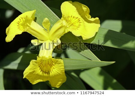Iris üzerinde üç yaprakları sarı bayrak Stok fotoğraf © danielbarquero