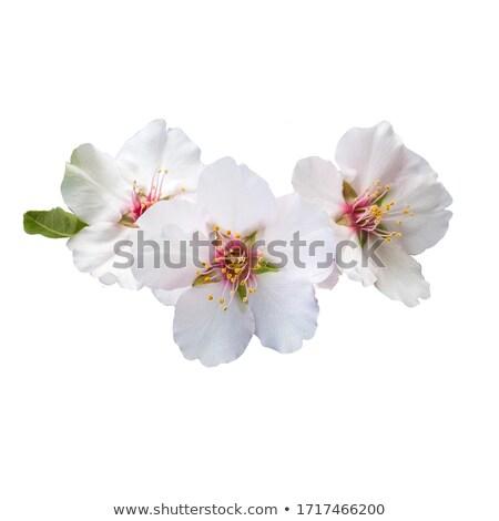 Amande fleur fleur eau soleil lumière Photo stock © rabel