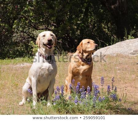 ペア ラブラドル 犬 座って 待って ストックフォト © jeffbanke