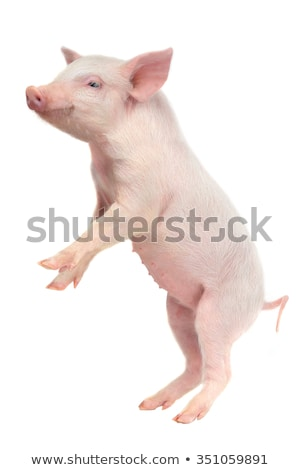 Standing Pig stock photo © rhamm