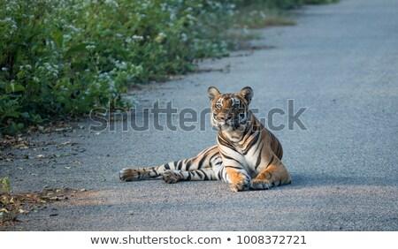 indiai · tigris · víz · természet · macska · ital - stock fotó © ziprashantzi