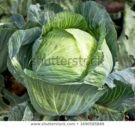 green cabbage plant field outdoor in summer stock photo © juniart