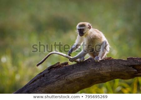 vervet monkey chlorocebus pygerythrus stock photo © dirkr