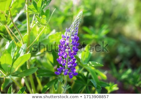 Stock photo: Countryside with lupines