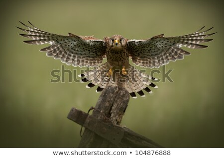 common kestrel flying towards camera Stock photo © taviphoto