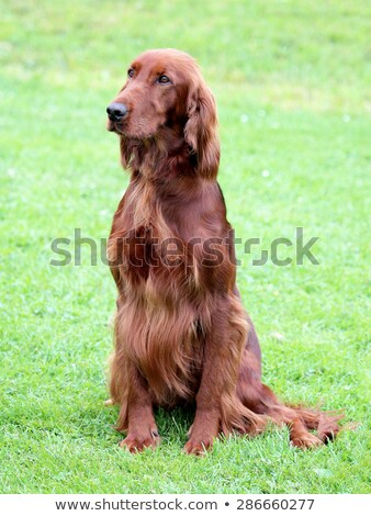 Stock photo: Typical Irish Red Setter  on a green grass lawn