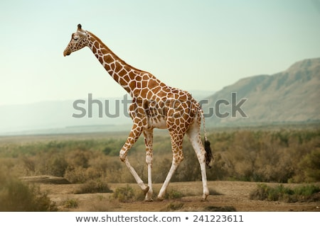 Girafa caminhada arbusto parque África do Sul céu Foto stock © simoneeman