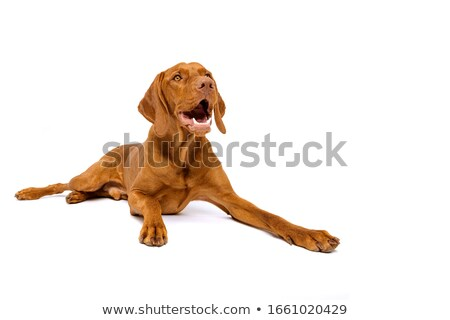 hungarian vizsla looking down in white studio stock photo © vauvau