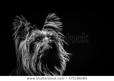cute yorkshire terrier portrait in a black photo studio stock photo © vauvau
