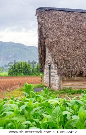 фермер · табак · области · завода · лист - Сток-фото © capturelight