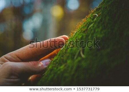 Main toucher érable arbre Homme Photo stock © stevanovicigor