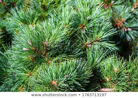 Fluffy Kiefer jungen grünen natürlichen Stock foto © zhekos