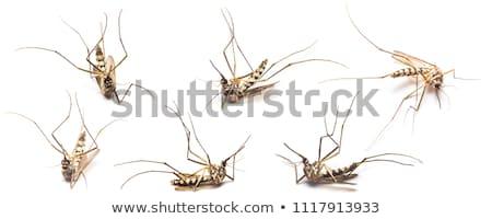 halott · szúnyog · izolált · fehér · állat · koszos - stock fotó © Kidza