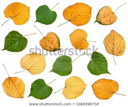 őszi levél izolált fehér fa erdő Stock fotó © BSANI