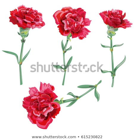 Red carnation flower vector illustration isolated on white Stock photo © orensila