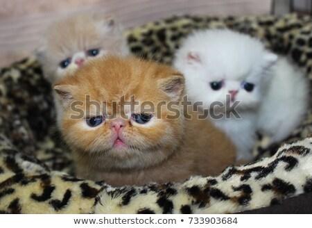 Exotisch korthaar kitten witte kat groep Stockfoto © cynoclub