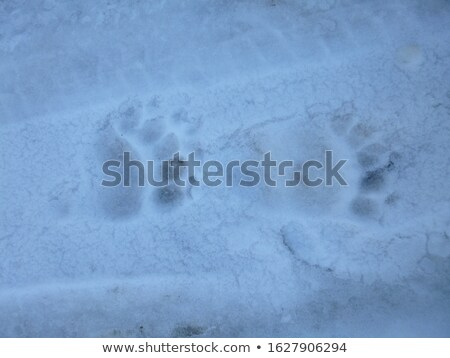 Beer sneeuw voorjaar hoogland gevaar wild Stockfoto © Kotenko