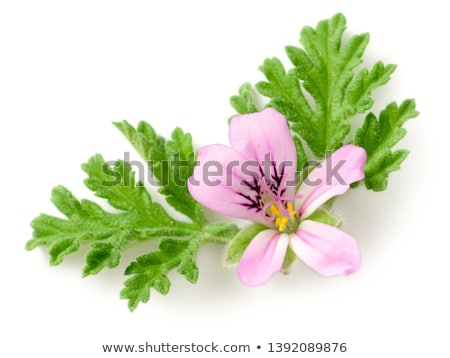 Red geranium on white background Stock photo © Epitavi