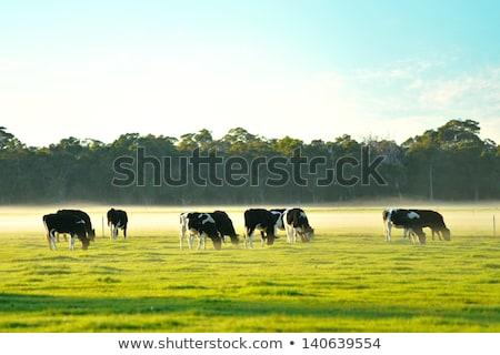 Foggy morning rural Australia Stock photo © lovleah